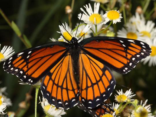 Loài bướm biết tìm thuốc để chữa bệnh