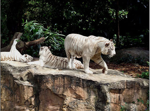 Hàng nghìn hổ mất mạng trong 10 năm