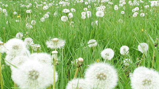 Rễ cỏ bồ công anh có thể chữa bệnh ung thư máu
