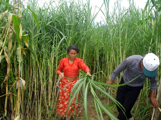 Dùng cỏ xử lý môi trường, sản xuất nhiên liệu