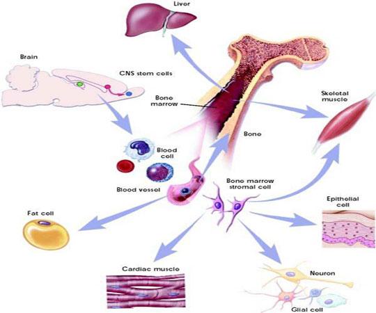 Tế bào gốc giúp phục hồi nhanh cơ bắp tổn thương