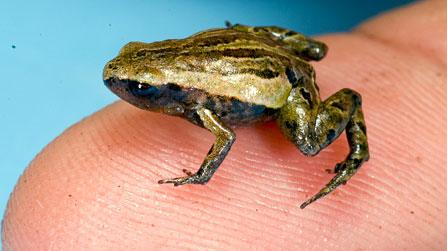 Da loài ếch nhỏ nhất thế giới có chứa chất độc hại