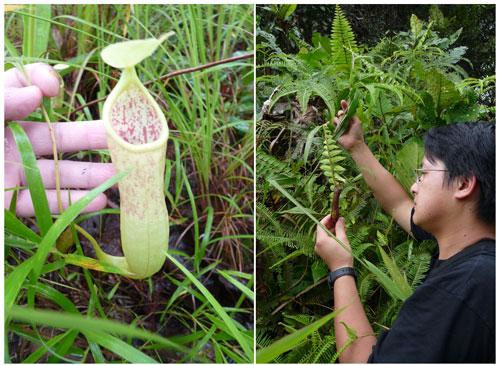 Phát hiện cây ăn thịt mới ở Campuchia