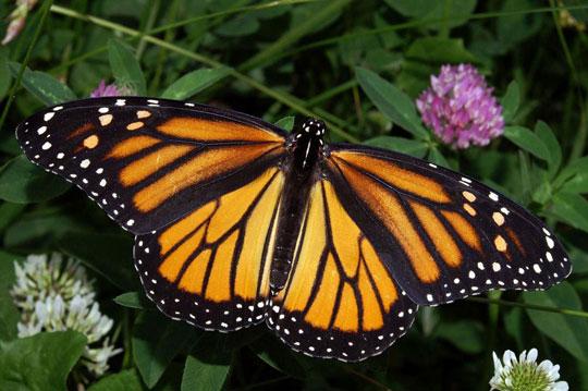 Bướm Monarch quý hiếm có nhà ở mới tại Mexico