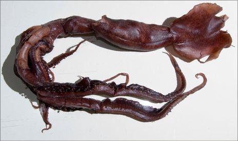 Loài mực ống phát sáng kỳ quái mới