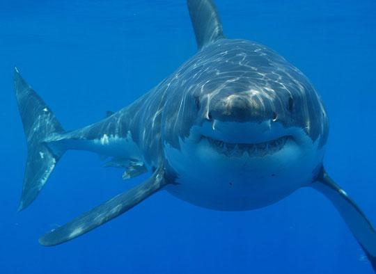 Vây hình răng giúp cá mập quay nhanh dưới nước