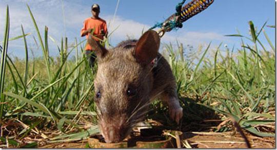 """Quân đội Mỹ quan tâm đến chuột """"công binh"""" Tanzania"""
