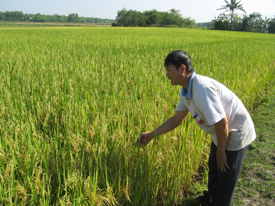 Tiền Giang sẽ sản xuất đại trà lúa than đặc sản