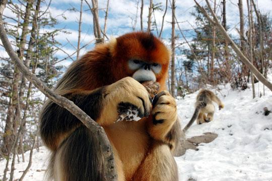 Lần đầu phát hiện khỉ vàng cũng bị đồng tính