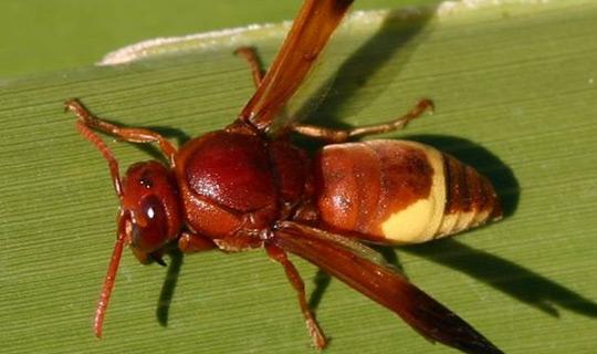 Ong bắp cày dùng năng lượng mặt trời