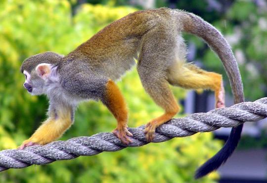 Liệu pháp tế bào gốc chữa được khỉ bị liệt