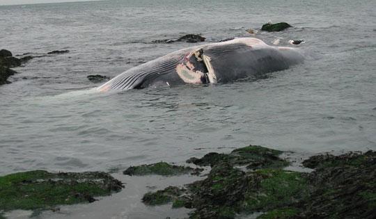 Lợi ích vô vàn từ xác cá voi