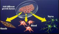 Việt Nam tách được tế bào gốc từ phôi chuột