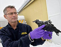 Nạn chim chết bí ẩn lan sang Thụy Điển