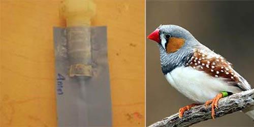 Thiết bị cao su giả tiếng chim hót