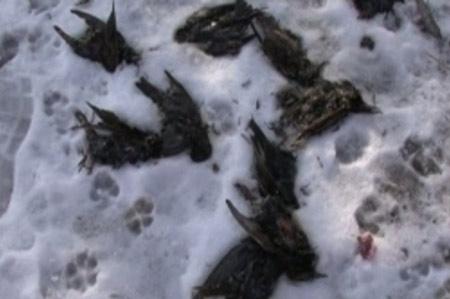 Chim chết hàng loạt vì say