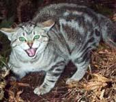 Xuất hiện loài mèo hoang từng cho là tuyệt chủng