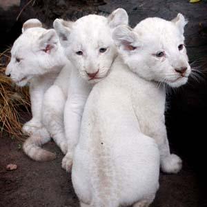Thế giới có thêm ba nhóc sư tử trắng
