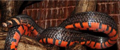Phát hiện lại 2 loài rắn hiếm ở Hoàng Liên