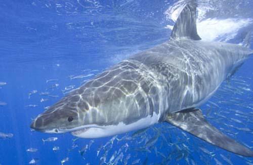 Các loài cá mập không có khả năng phân biệt màu
