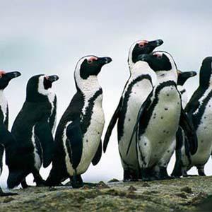 Bảo tồn gen chim cánh cụt Nam Phi