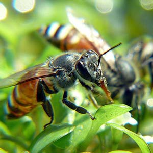 Lời giải nào cho sự suy giảm bí ẩn của loài ong