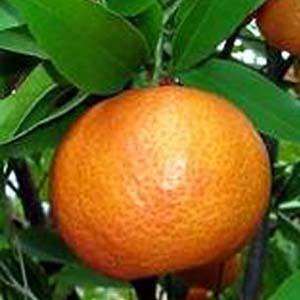 Giải mã thành công bộ gen các loại cây họ cam, quýt