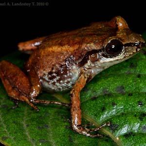 Tái phát hiện 6 loài ếch quý hiếm