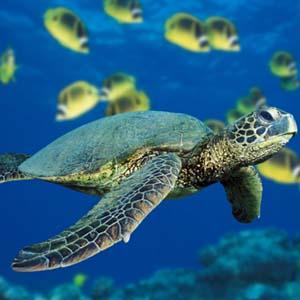 Kêu cứu cho rùa biển Việt Nam