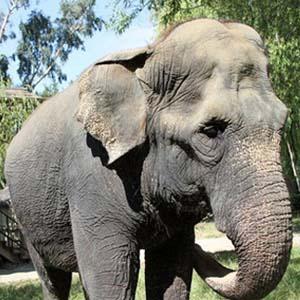 """""""Cụ"""" voi già nhất Bắc Mỹ đã chết"""