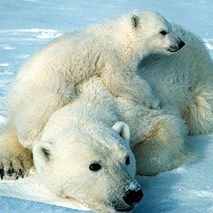 Gấu Bắc cực phải bơi liên tục 687km để kiếm ăn