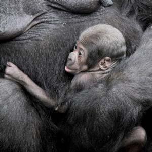 Bé khỉ đột trong vòng tay người mẹ