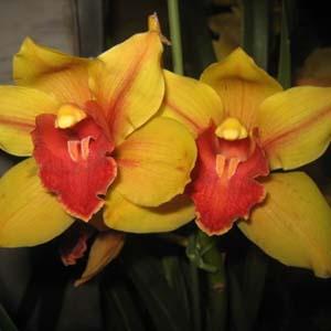 Nghiên cứu rút ngắn thời gian ra hoa của địa lan hoa vàng