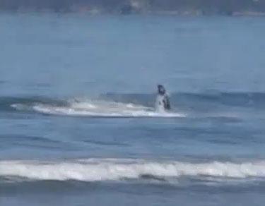 Video: Cá voi sát thủ tấn công cá mập