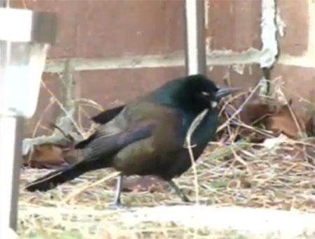 Chim rơi hàng loạt đêm giao thừa