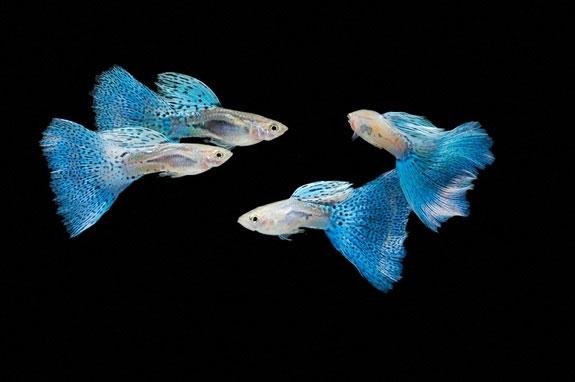 Cá bảy màu là loài ăn thịt hơn cả hổ và cá mập?