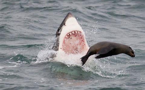 Ảnh đẹp: Vũ điệu săn mồi của sát thủ đại dương