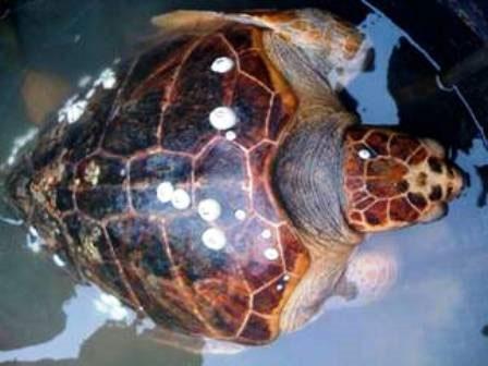 Thả rùa Quản Đồng quý hiếm về với đại dương