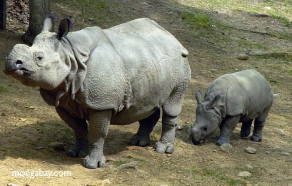 Tê giác Sumatra ở Malaysia được kết đôi để nhân giống