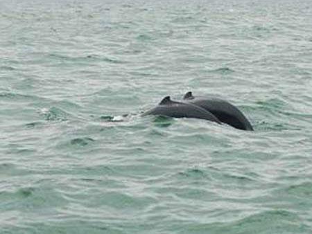 Cá heo quý xuất hiện tại Kiên Giang