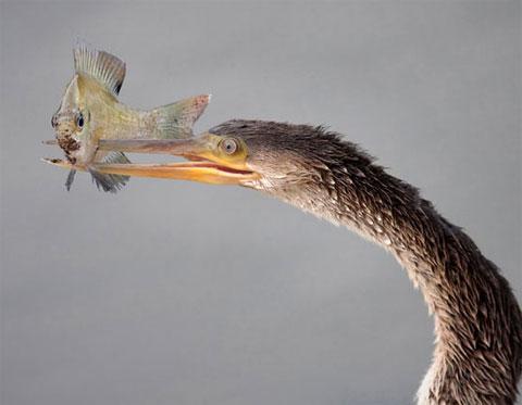 Chim cổ rắn đâm mỏ xuyên qua con cá.
