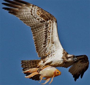 Chim ưng biển bắt cá tại Israel.