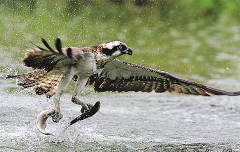 Con đại bàng bắt hai con cá cùng lúc tại Mỹ.