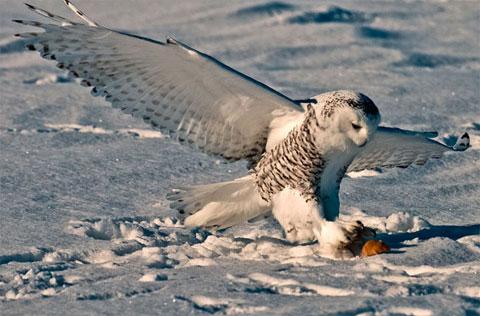 Cú tuyết chộp một con chuột trên đồng tại Quebec, Canada.