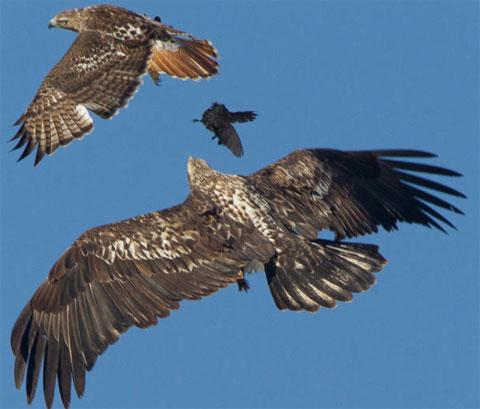 Chim hét xấu số rơi khỏi móng vuốt của chim ưng để rồi bị đại bàng tóm gọn. Đại bàng đuổi theo chim ưng để giành mồi. Nhận thấy đối thủ to hơn, chim ưng chủ động thả mồi để thoát thân. Cảnh tượng diễn ra tại bang Colorado, Mỹ.