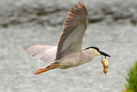 Một vịt con xa mẹ trở thành mồi ngon của chim diệc tại bang California, Mỹ.