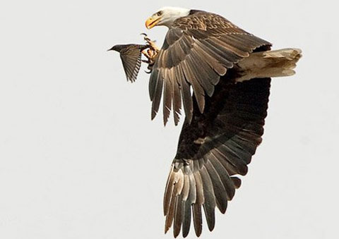 Đại bàng bắt sáo trên không trung tại bang Colorado, Mỹ.