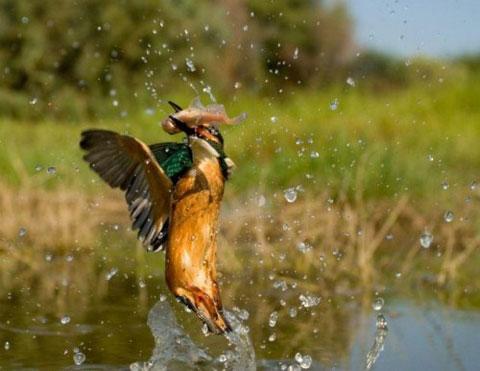 Chim bói cá bay vọt lên với con cá trong miệng.