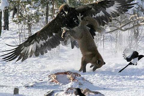 Con chó rừng bị đại bàng bắt khi đang di chuyển trên tuyết tại Mỹ.