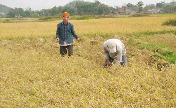 Sản xuất thành công lúa một bụi đỏ gạo hồng